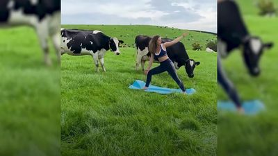 Cow yoga class takes place at Lancashire farm