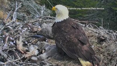 Bald Eagle mother leaves chicks during earthquake
