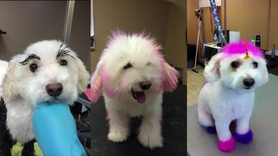 Dog groomer's pooch 'loves' to be dyed