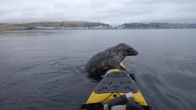 Cheeky seal joins kayaker for paddle in Cornwall