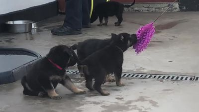 Police pups in ragging training