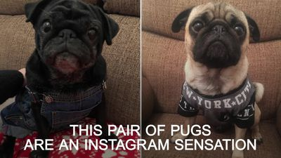 Dog owner spends hundreds of pounds every month on clothes for her pugs