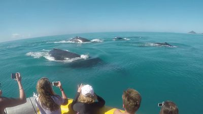 Nine male humpback whales chase a female in the Whitsundays