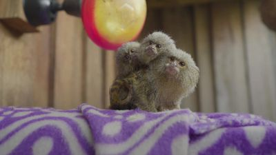 Cute pygmy marmoset babies take first steps on their own