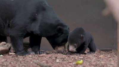 Sun bear cub emerges from den for first time