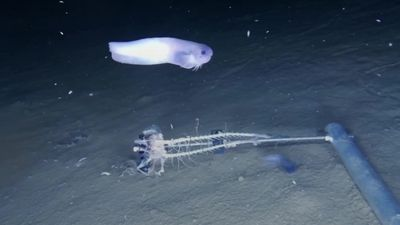Three new species of fish discovered in one of the Pacific Ocean's deepest parts