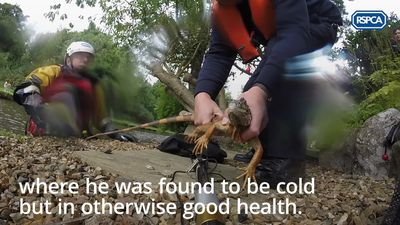 Iguana saved from tree hanging over a canal