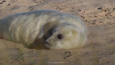 Grey seal pups spotted in Norfolk