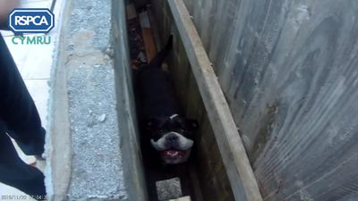 Roxy the bulldog rescued from tight spot