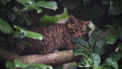 Rare Scottish wildcat kitten born at Chester Zoo