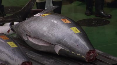 Bluefin tuna sells for record GBP2.5 million at Tokyo auction