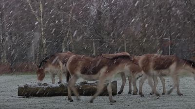 Animals enjoy the snow at Knowsley Safari Park
