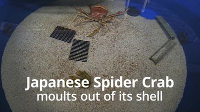 Japanese Spider Crab moults out of its shell
