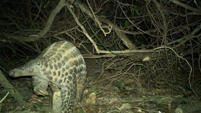 Secret lives of rare giant pangolins revealed in video