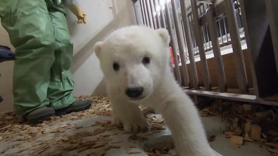 Baby polar bear receives first examination at Berlin zoo