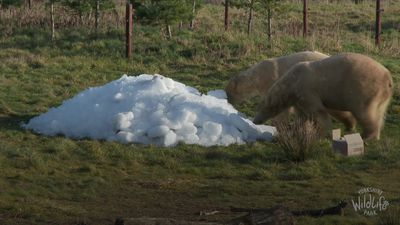 Polar bears roll around in ice cubes at Yorkshire Wildlife Park