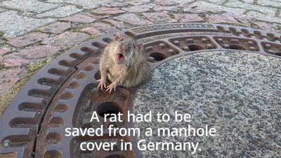 Rat stuck in manhole cover rescued by firefighters