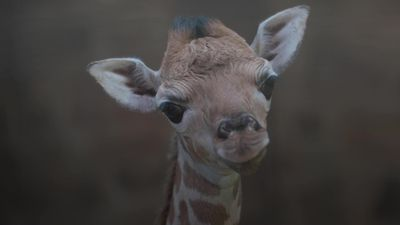 Rare baby giraffe born at Chester Zoo