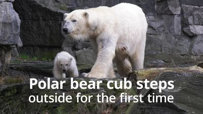 Polar bear cub steps outside for the first time