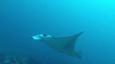 Reef manta ray spotted for the first time in the Eastern Pacific
