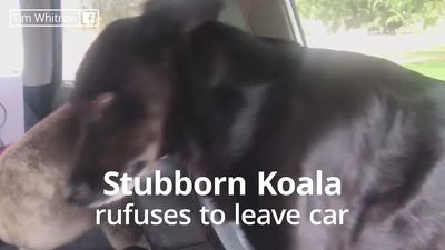 Koala refuses to leave air conditioned car