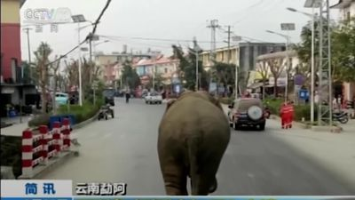 Wild elephant wanders around Chinese town