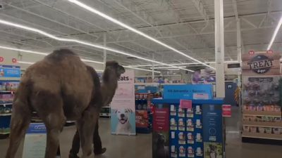 Camel shocks shoppers as he visits a store in Michigan