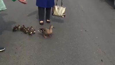Ducklings hold up traffic in Driffield