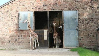 Baby Rothschild giraffe takes its first steps outside