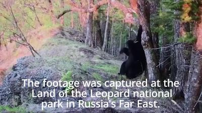 Camera captures bear's backrub against tree