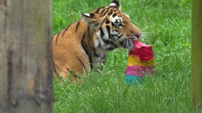 Whipsnade Zoo tiger cubs celebrate first birthday
