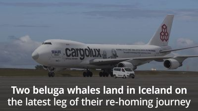 Two beluga whales land safely in Iceland on latest leg of re-homing trip
