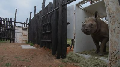 Rhinos transported from Europe to Africa for conservation project