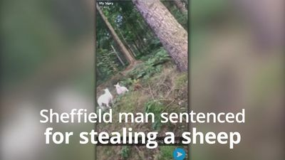 Man sentenced for stealing sheep and releasing it in Sheffield