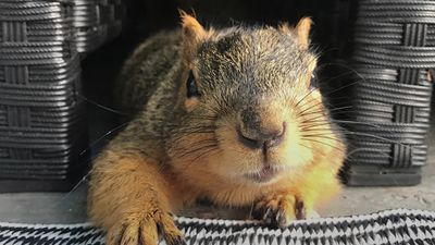 Brain-damaged squirrel inspires the setting up of a rescue hospital