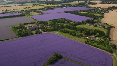 Drone footage shows fields of echium in full flower in Essex