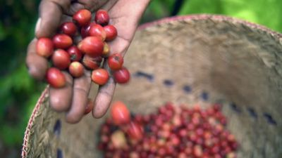 Bat spit puts a shine on Madagascan coffee