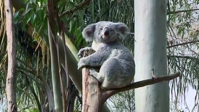 Scientists unlock secrets in Koala genome