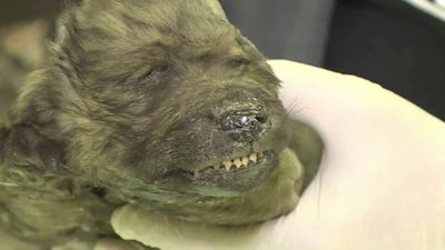 18,000-year-old puppy preserved in ice still has velvet nose