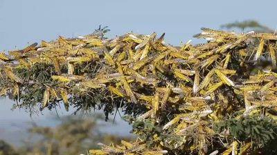 'The biggest threat': East Africa struggles to fight locust plague