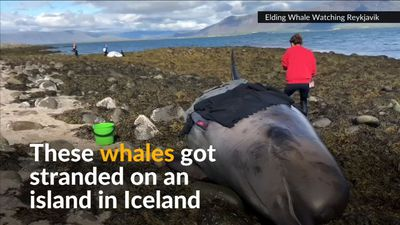 Rescuers help stranded whales back to sea in Iceland