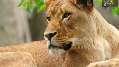 Lioness kills father of her cubs at Indianapolis Zoo