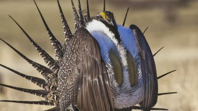 Sage Grouse bird may lose protections under Trump