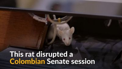 Rats on the loose interrupt Colombian Senate