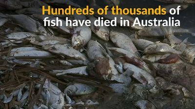 Hundreds of thousands of fish die in Australia