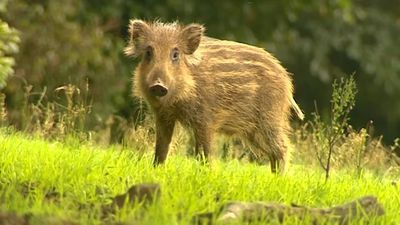 France to deploy army in move to cull 600 wild boars for fear of swine fever spread