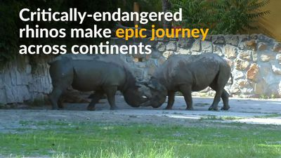 From pens to plains: rhinos journey from Europe to Africa
