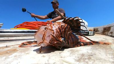As waters warm, lionfish invasion strains Lebanon's seas