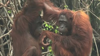 Orangutans suffer in Indonesian smog