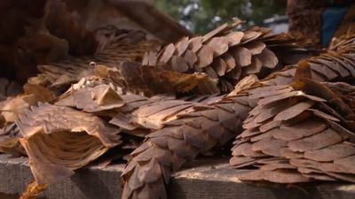 Nigeria becomes Africa's staging ground for illegal pangolin trade with Asia
